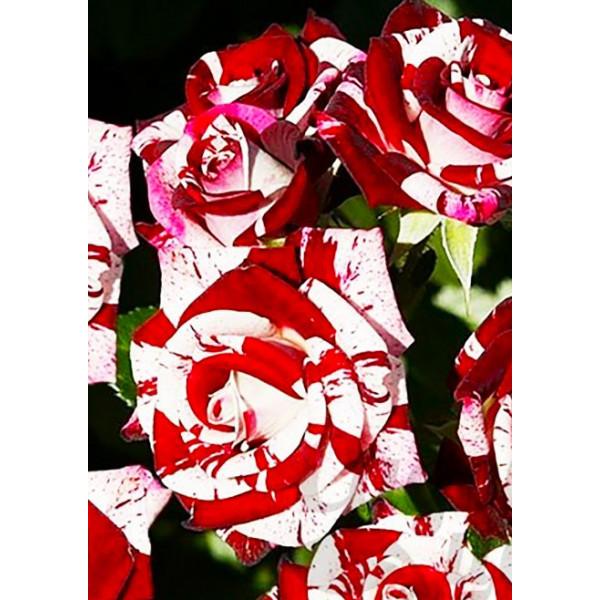Роза спрей Флеш Найт