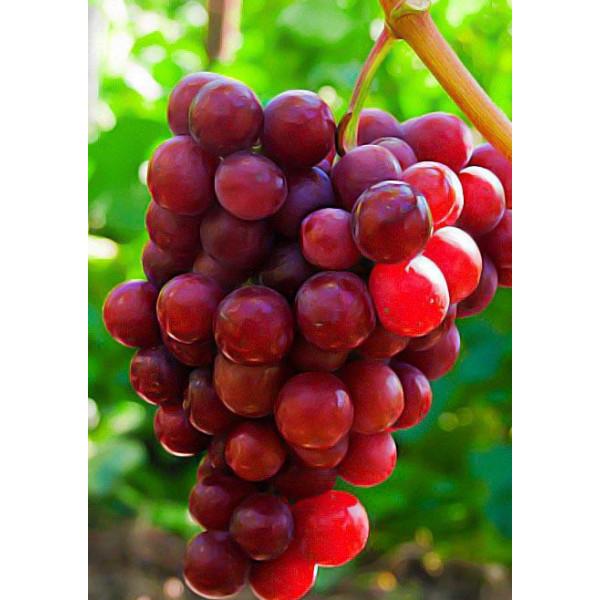 Виноград Красное пламя