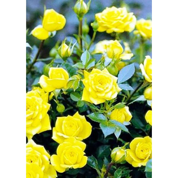 Роза спрей Шани