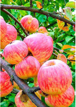 Яблоня Мельба